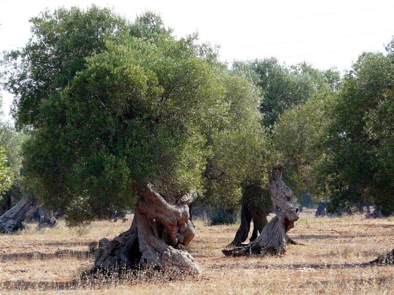 Puglia ulivi fotovoltaico